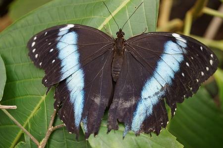 creepy crawly: Vivid tropical butterfly - Banded Morpho - Morpho achilles Stock Photo