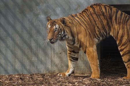felid: A large Malayan Tiger - Panthera tigris jacksoni