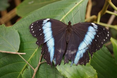 insecta: Vivid tropical butterfly - Banded Morpho - Morpho achilles Stock Photo