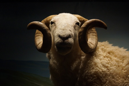 ovis: A Wild White-faced Woodland Sheep Ram - Ovis aries