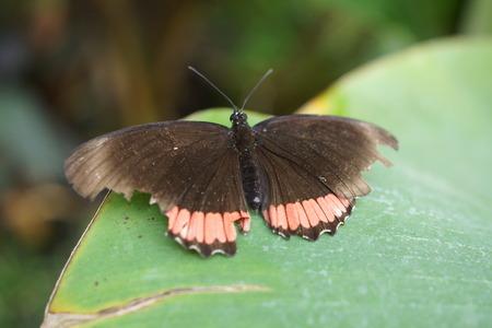creepy crawly: Vibrant tropical butterfly - Red Rim - Biblis hyperia