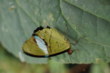 creepy crawly: Vivid tropical butterfly - Common Olivewing - Nessaea aglaura