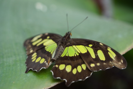 creepy crawly: Vivid tropical butterfly - The Malachite - Siproeta stelenes
