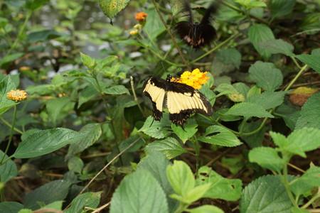 creepy crawly: Vibrant tropical butterfly - Thoas Swallowtail - Papilio thoas