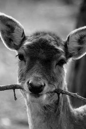 fallow deer: A wild native Fallow Deer - Dama dama Stock Photo