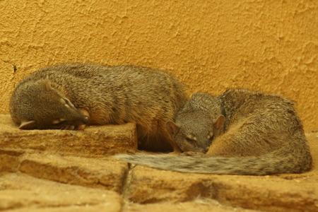 mongoose: The Boky-Boky or Narrow-striped Mongoose - Mungotictis decemlineata