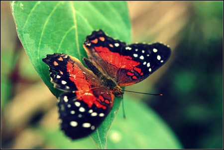 creepy crawly: A vibrant butterfly Scarlet Peacock - Arnatia amathea