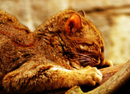 felid: The red Rusty Spotted Cat - Prionailurus rubiginosus