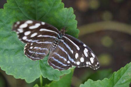 creepy crawly: Vivid tropical butterfly Orange-banded Shoemaker - Catonephele orites