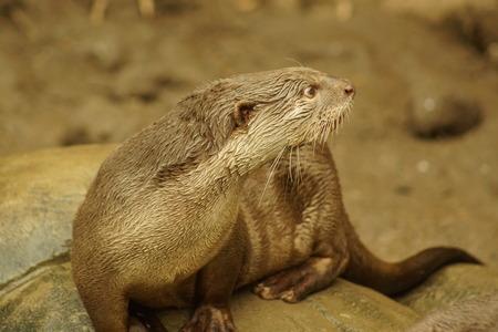 carnivora: A wild aquatic Smooth-coated Otter - Lutrogale perspicillata