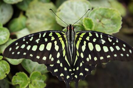 creepy crawly: Vivid tropical butterfly - Green Jay - Graphium agamemnon