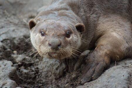 animalia: A wild aquatic Smooth-coated Otter - Lutrogale perspicillata