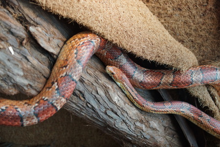 serpentes: A North American Corn Snake - Pantherophis guttatus