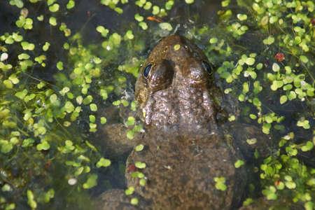 submerged: A wild submerged Marsh Frog - Pelophylax ridibundus Stock Photo