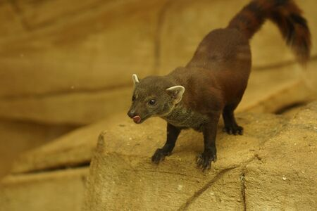 herpestidae: Ring-tailed Vontsira - Galidia elegans or Ring-tailed Mongoose Stock Photo