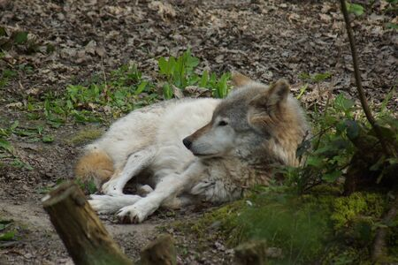 canis lupus: A large wild Grey Wolf - Canis lupus Stock Photo