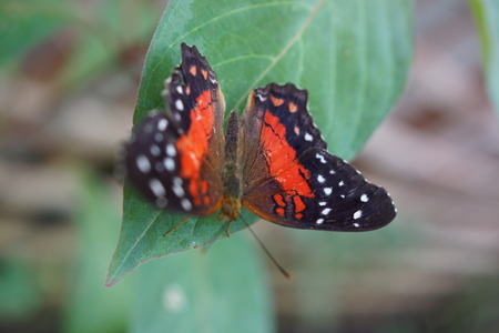 scarlet: A vibrant butterfly Scarlet Peacock - Arnatia amathea