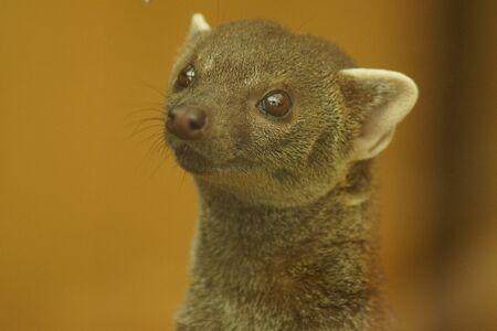 herpestidae: Ring-tailed Vontsira - Galidia elegans or Ring-tailed Mongoose Stock Photo