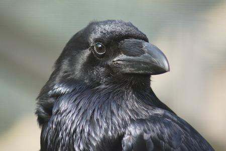 corvidae: Portrait of a Common Raven  - Corvus corax