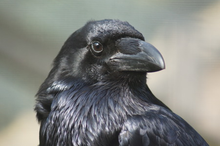 Portrait of a Common Raven  - Corvus corax