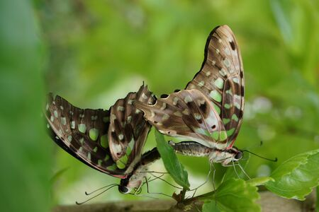 green jay: A mating pair of Green Jay butterfly - Graphium agamemnon
