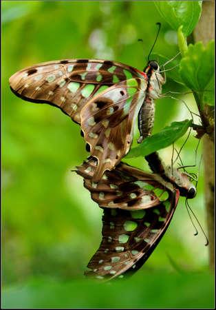 green jay: Un par de apareamiento de Jay verde mariposa Graphium Agamen�n Foto de archivo