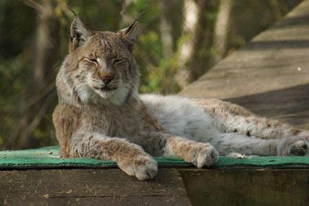 lince: Gran gato salvaje lince eurasi�tico Lynx lynx