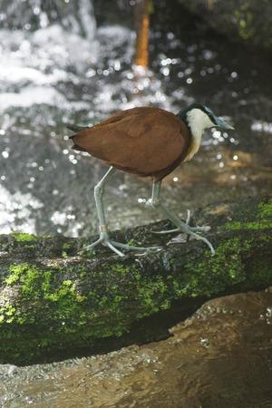 jacana: A stilt-legged African Jacana - Actophilornis africanus