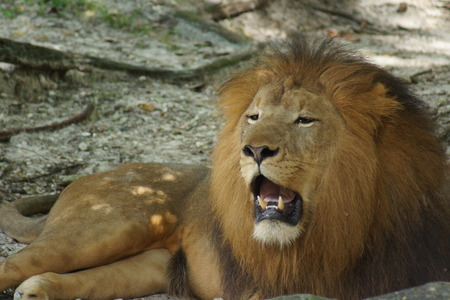 african lion: Inside a pride of African Lion - Panthera leo