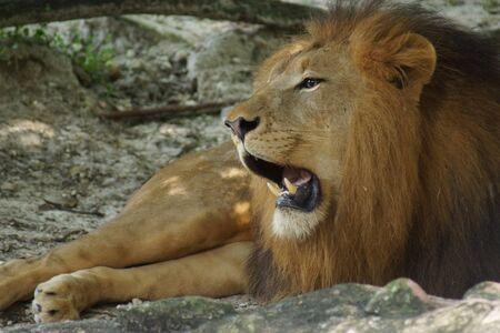 panthera leo: Inside a pride of African Lion - Panthera leo