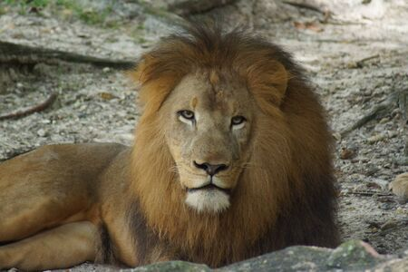 fearsome: Inside a pride of African Lion - Panthera leo