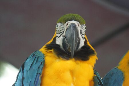 guacamaya: Guacamayo Azul y Amarillo