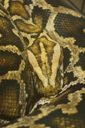 legless: A large wild Burmese Python - Python bivittatus Stock Photo