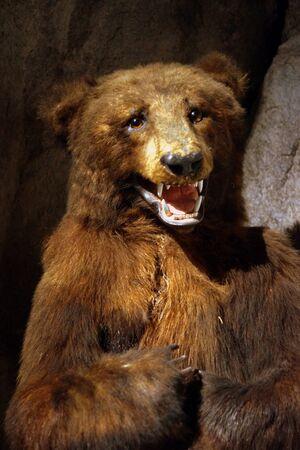 animalia: A large wild cave Brown Bear - Ursus arctos