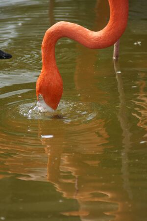 phoenicopterus: A flock of Caribbean Flamingo - Phoenicopterus ruber Stock Photo