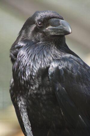 black feathered: Portrait of a Common Raven  - Corvus corax