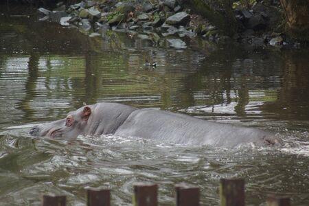 hippopotamus: La gran africana común Hippopotamus - amphibius Foto de archivo
