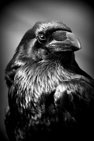 corvus: Portrait of a Common Raven  - Corvus corax