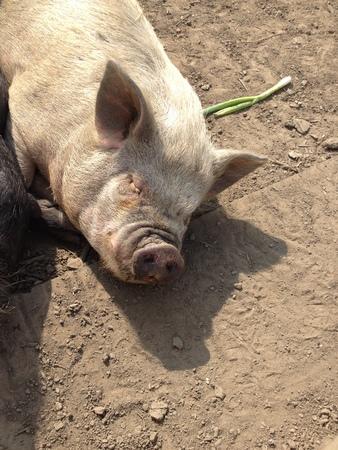 scrofa: On the farm Domestic Pig - Sus scrofa domesticus