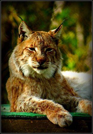 lince: Gran gato salvaje - Eurasi�tica Lynx - Lynx lynx Foto de archivo