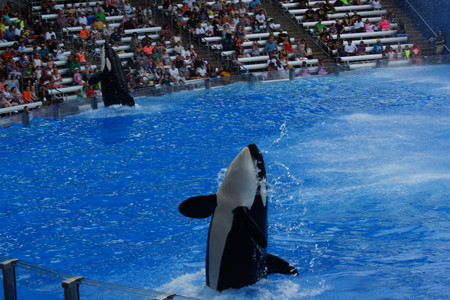 killer whale: A captive performing Killer Whale - Orcinus orca Editorial