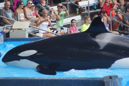 willy: A captive performing Killer Whale - Orcinus orca Editorial