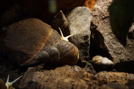 CARACOL: Un salvaje gigante del caracol Ghana - Achatina Achatina Foto de archivo