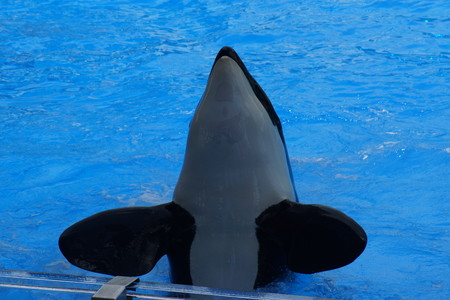 willy: A captive performing Killer Whale - Orcinus orca Stock Photo