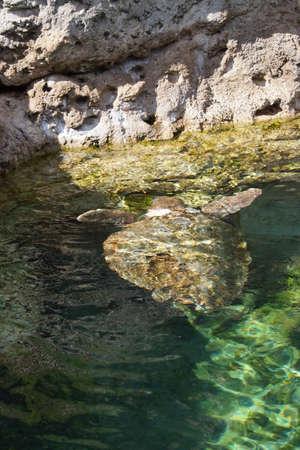 chelonia: A large Green Sea Turtle - Chelonia mydas