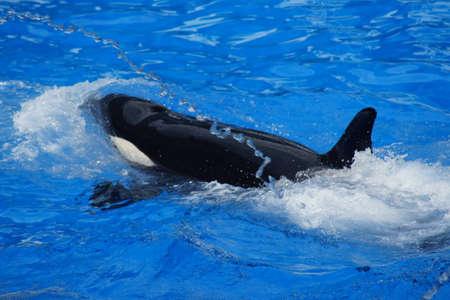cetacea: A large Killer Whale - Orcinus orca