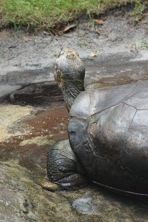 reptilia: A large wild Galapagos Tortoise - Chelonoids nigra Stock Photo