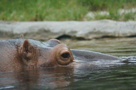 hippopotamus: Una gran hipopótamo salvaje - amphibius