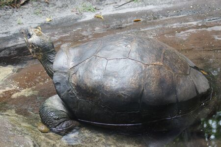 chelonia: A large wild Galapagos Tortoise - Chelonoids nigra Stock Photo