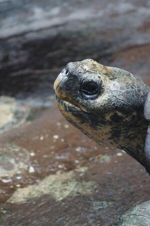 galapagos: A large wild Galapagos Tortoise - Chelonoids nigra Stock Photo